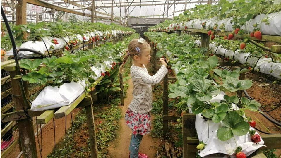 Things to do in the Cameron Highlands-visit a strawberry farm-Ayla picking strawberries